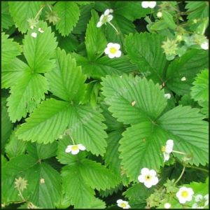 Alpine Strawberry - Fregaria vesca alpina