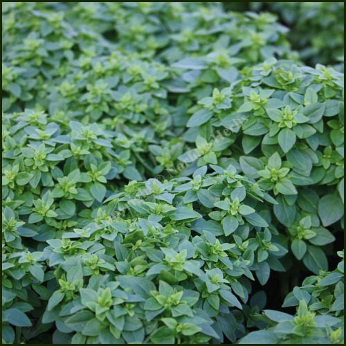Basil, Greek