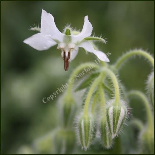 Borage WHITE - Borago officinalis