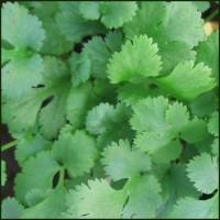 Coriander - Coriandrum sativum