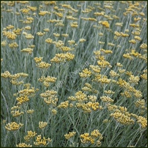 Curry Plant - Helichrysum italicum