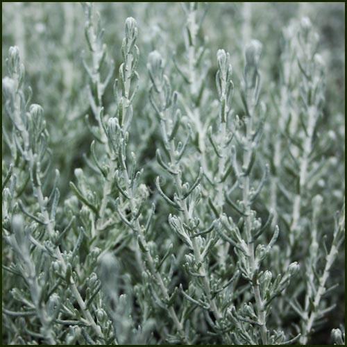 Curry Plant, Dwarf - Helichrysum microphyllum 'Willd' Cambess