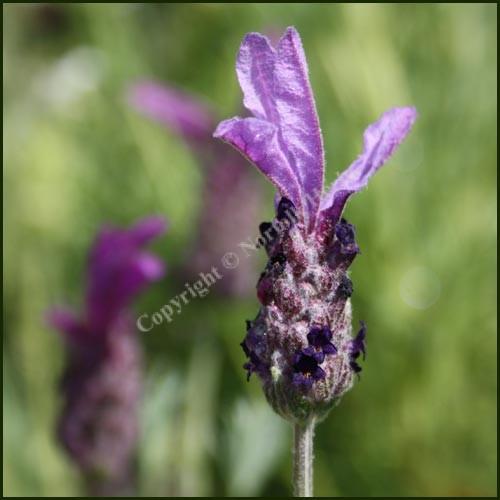 Lavender, French 'BEE BRILLIANT' - Lavandula 'Bee Brilliant'
