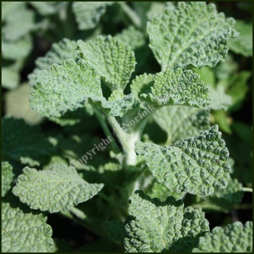 Horehound - Marrubium vulgare