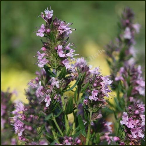 Hyssop, Pink - Hyssopus officinalis