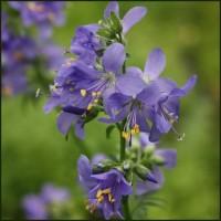 Jacob's Ladder - Blue - Polemonium caeruleum