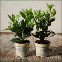Kitchen Bay - Laurus nobilis