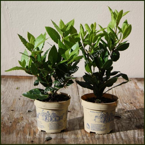 Kitchen Bay - Laurus nobilis