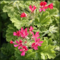 Scented Pelargonium - Geranium 'Concolor Lace' aka Shottesham Pet