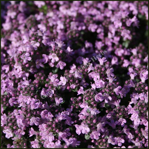 Thyme, Lilac Time
