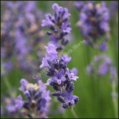 Lavender, Cedar Blue - Lavandula angustifolia
