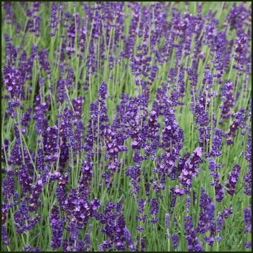Lavender, Hidcote - Lavandula angustifolia