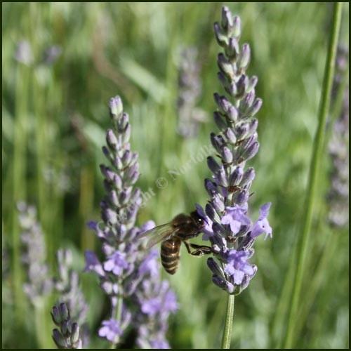 Lavender, Old English - Lavandula x intermedia
