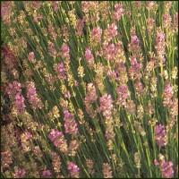 Lavender, Rosea - Lavandula angustifolia
