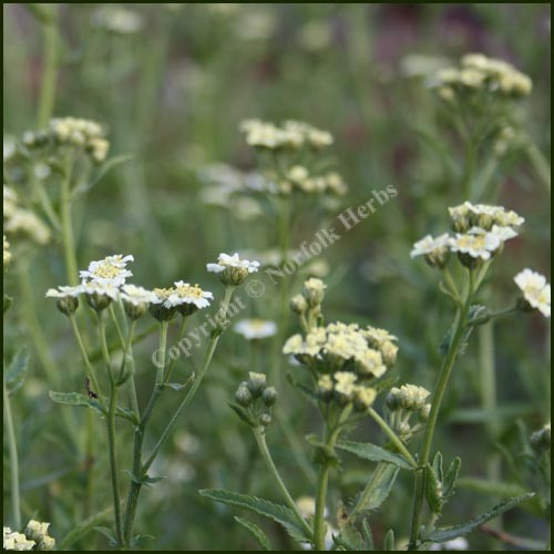 Mace, English - Achillea ageratum