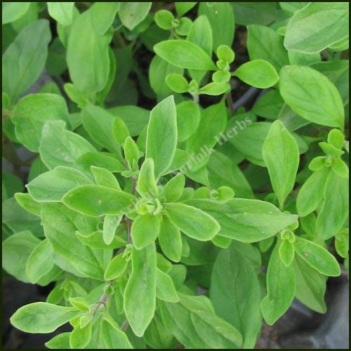 Marjoram Sweet - Origanum marjorana