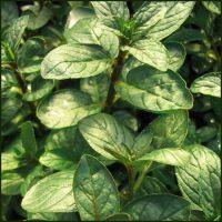 Mint, Chocolate Peppermint - Mentha x piperita