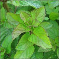 Mint, Orange - Mentha x piperita f. citrata 'Orange'