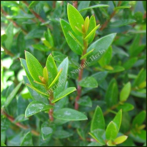 Myrtle, Tarentina - Myrtus communis