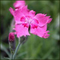 Pink, Cheddar - Dianthus gratianopolitanus
