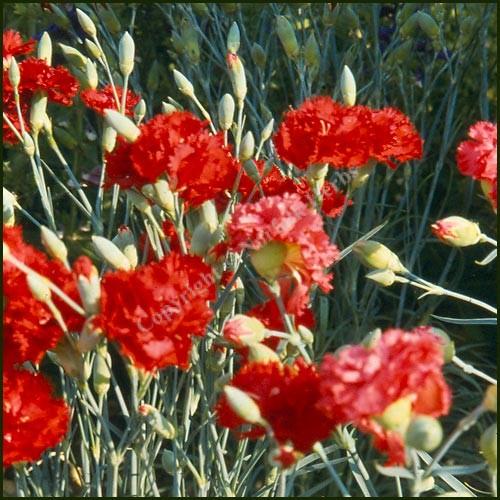 Pink, Clove - Dianthus caryophyllus