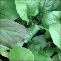 Rocket, Salad - Eruca vesicaria