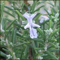 Rosemary, Miss Jessop's Upright