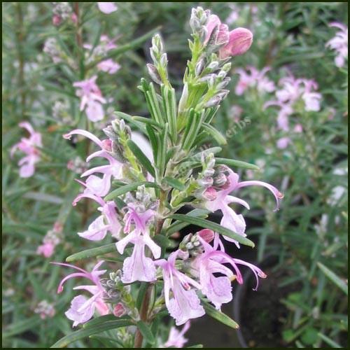 Rosemary, Pink - Rosmarinus officinalis 'Roseus'