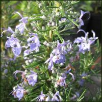Rosemary, Sudbury Blue