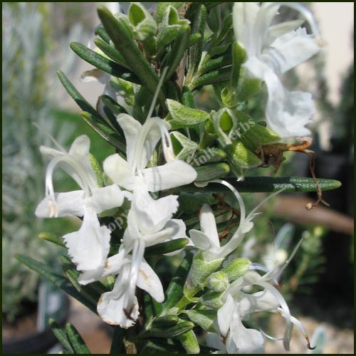 Rosemary, White - Rosmarinus officinalis var. albiflorus