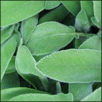 Sage - Salvia officinalis