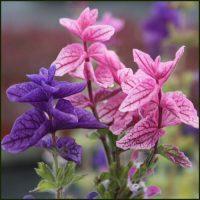 Sage, Painted - Salvia horminum