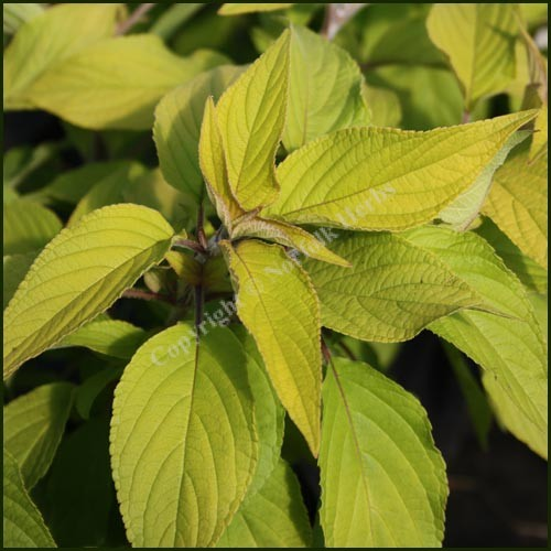Sage, Pineapple - Golden Delicious