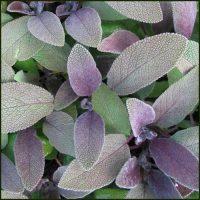 Sage, Purple - Salvia officinalis purpurascens