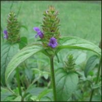 Self-Heal - Prunella vulgaris