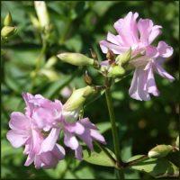 Soapwort - Saponaria officianalis