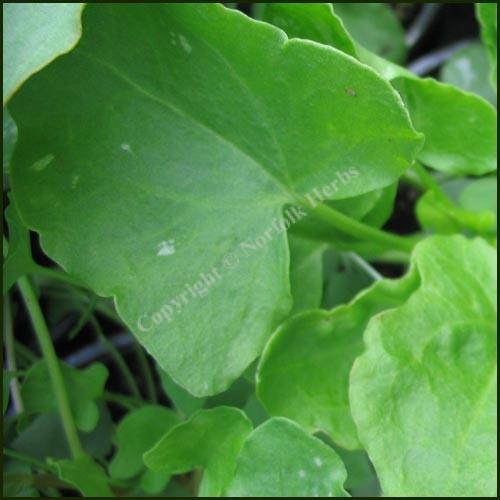 Sorrel - Buckler Leaved - Rumex scutatus