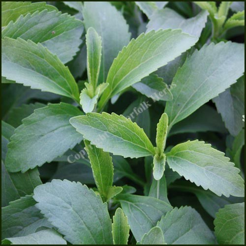 Stevia rebaudiana - Sugar Plant or Sweet Herb of Paraguay