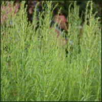 Tarragon, Russian - Artemisia dracunculoides
