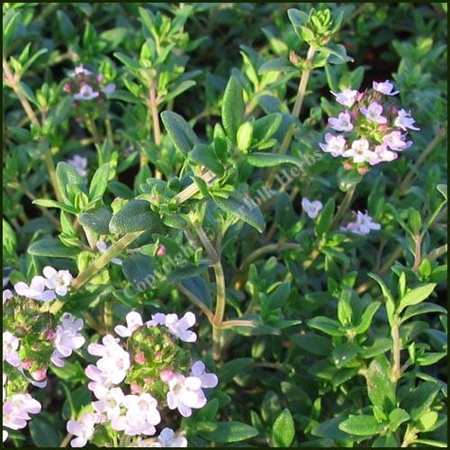 Thyme, Garden - Common Thyme - Thymus vulgaris