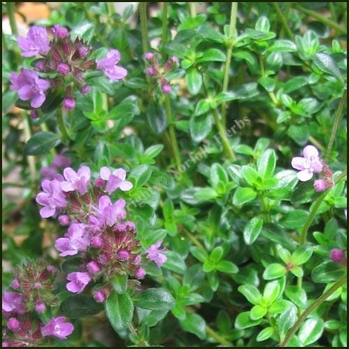 Thyme, Dillington - Thymus pulegioides