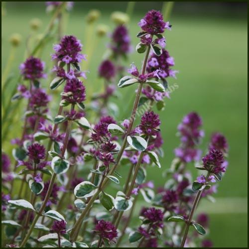 Thyme, Foxley - Thymus pulegioides