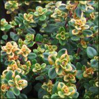 Thyme, Lemon Variegated - Thymus citriodorus aureus