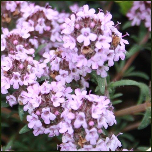 Thyme, Peter Davis - Thymus richardii nitidus
