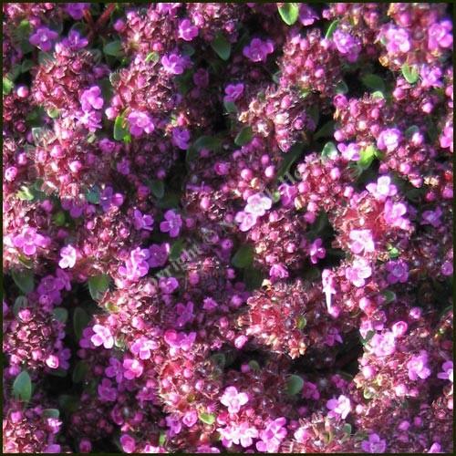 Thyme, Russetings - Thymus serpyllum