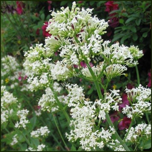 Valerian, White - Centranthus ruber alba