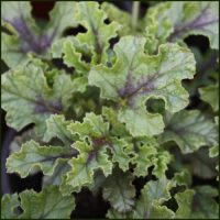 Scented Pelargonium - Geranium - Royal Oak