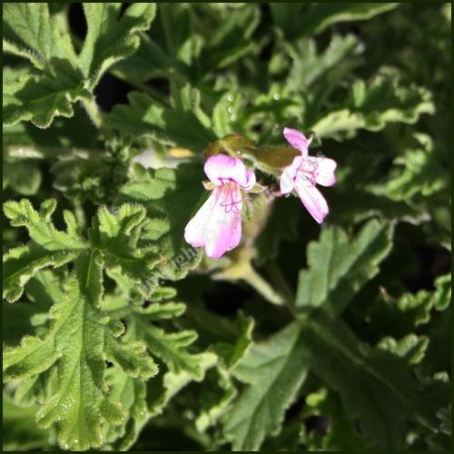 Scented Pelargonium - Geranium - 'Graveolens'