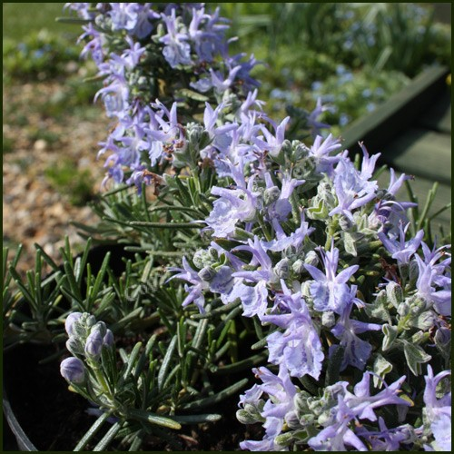 Rosemary, Prostrate - Rosmarinus officinalis Prostratus Group