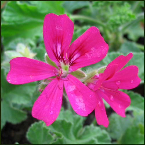 Scented Pelargonium - Geranium - 'Purple Unique'